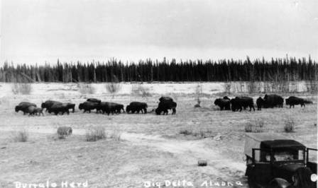 Bison at Darius Creek, Big Delta, Alaska in October, 1937.  Photo from the Alaska State Archives.